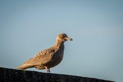 Гибридная птица, смешивание европейского argentatus Larus чайки сельдей и Glaucous hyperboreus Larus чайки стоя на стене Стоковые Изображения RF