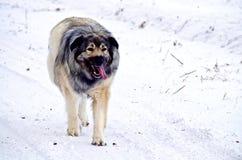 Гибридная собака больших Пиренеи немецкой овчарки стоковая фотография