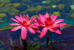 Гибридные розовые лилии воды стоковая фотография rf