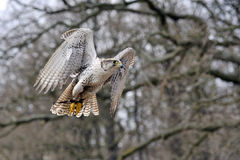Гибрид Falco стоковые фото