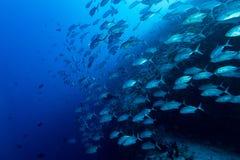 Гиганта рыбы caranx тунца trevally на голубых ныряя Мальдивах Стоковая Фотография