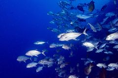 Гиганта рыбы caranx тунца trevelly на голубых ныряя Мальдивах Стоковые Изображения RF
