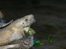 Гигантская африканская черепаха пришпоренная или Sulcata с зеленым цветом раскрыла рот путем еда овоща в конце вверх в зоопарке стоковые фотографии rf