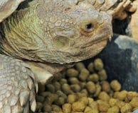 Гигантская африканская черепаха Стоковые Изображения