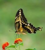 Гигантская бабочка swallowtail на Lantana с космосом экземпляра Стоковые Фото