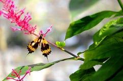 Гигантская бабочка swallowtail подавая на цветке Стоковые Фото