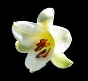 Гигантская белая лилия Стоковые Фотографии RF
