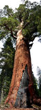гигантская вертикаль панорамы гризли Стоковое фото RF