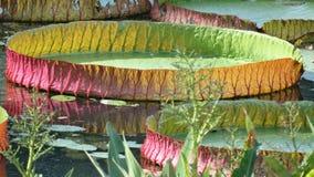 гигантская вода лилии стоковая фотография rf