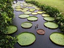 гигантская вода лилии Стоковое фото RF