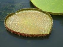 гигантская вода лилий Стоковые Изображения