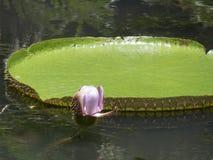 гигантская вода лилий Стоковая Фотография RF