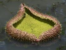 гигантская вода лилий Стоковые Фото