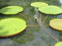 гигантская вода лилий Стоковые Изображения RF