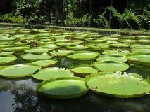 гигантская вода лилий Стоковая Фотография