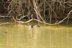 Гигантская выдра от Pantanal, Бразилии стоковые фотографии rf