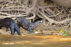 Гигантская выдра от Pantanal, Бразилии стоковое фото