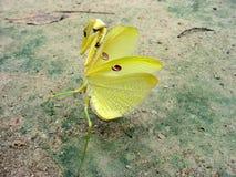 Гигантская желтая позиция богомола Amazoninian полностью защитительная Одно из добросердечного фото стоковое фото rf