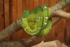Гигантская зеленая змейка укладыванная в бухту на дереве стоковая фотография
