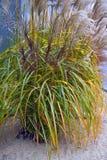 Гигантская камышовая трава Стоковые Изображения RF