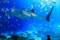 Гигантская китовая акула с различными тварями моря на аквариуме США Georgia Стоковое Изображение RF