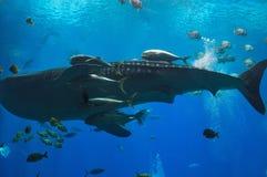 Гигантская китовая акула с различными тварями моря на аквариуме США Georgia Стоковые Изображения RF