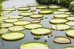 Гигантская лилия воды Стоковые Изображения