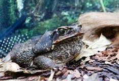 Гигантская морская жаба Стоковое Фото