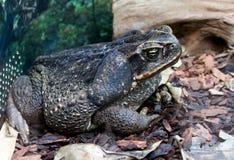 Гигантская морская жаба Стоковые Изображения