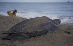 Гигантская морская черепаха letherback Стоковое фото RF