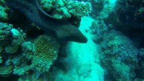 гигантская мурена с концом коралла сток-видео