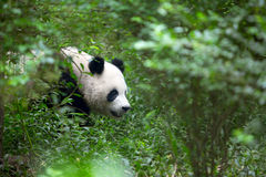 Гигантская панда в древесинах Стоковые Фотографии RF