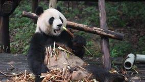 Гигантская панда есть бамбуковый крупный план акции видеоматериалы