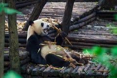 Гигантская панда есть бамбук лежа вниз на древесине в провинция Чэнду, Сычуань, Китай Стоковое Изображение