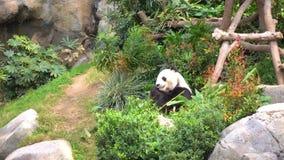 Гигантская панда ест бамбук видеоматериал