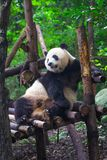 Гигантская панда лежа вниз на древесине в провинция Чэнду, Сычуань, Китай Стоковое Изображение