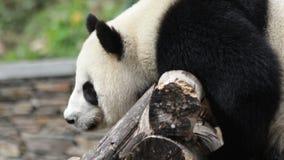 Гигантская панда охлаждает вне, Китаи сток-видео