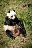 Гигантская панда сидя вверх Стоковые Фото