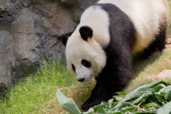 гигантская панда Стоковые Изображения RF