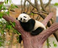 Гигантская панда