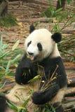 гигантская панда Стоковое фото RF