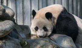Гигантская панда в Чэнду, Сычуань, Китае Стоковые Изображения