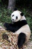 Гигантская панда или Ailuropoda Melanoleuca или Da Xiong Mao Стоковые Изображения