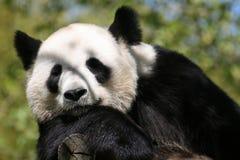 Гигантская панда (медведь панды) Стоковое Изображение RF