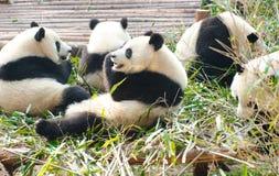 Гигантская панда, Подводн-взрослый.  Чэнду, Китай стоковое изображение