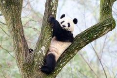 Гигантская панда сидя в дереве, Китае Стоковые Фото