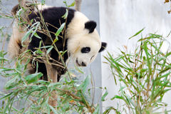 Гигантская панда сидя в дереве Стоковая Фотография RF