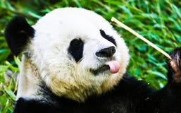 Панда есть бамбук Стоковое Фото