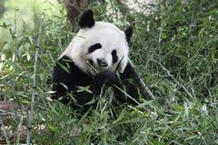 гигантская панда Стоковые Фотографии RF