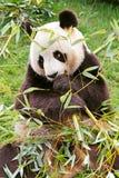 гигантская панда Стоковое Изображение